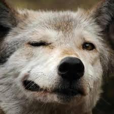 wolf winking